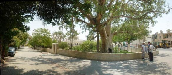 sycamore-tree-pano