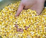 seed-corn